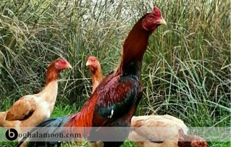 جیره مرغ و خروس لاری