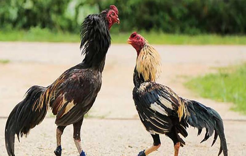 جیره مرغ و خروس لاری11