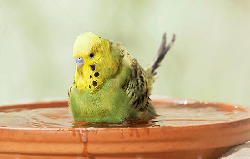 حمام دادن مرغ عشق