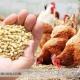 خوراک مرغ و خروس لاری