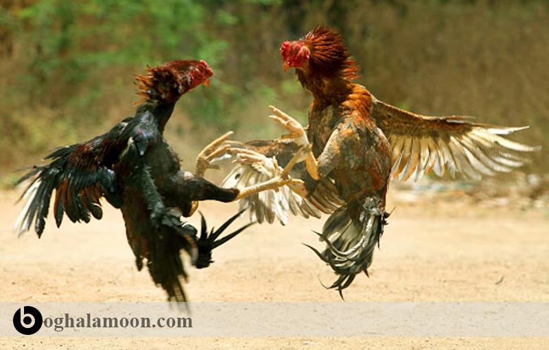 راهنمای حذف پرندگان اضافی در اصلاح نژاد خروس لاری