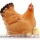 طرح توجیهی پرورش مرغ بومی
