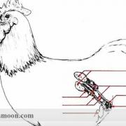 عوامل مؤثر بر قدرت باروری مرغ و خروس بومی