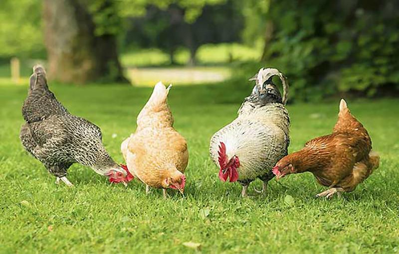 عوامل مؤثر بر قدرت باروری مرغ و خروس بومی11