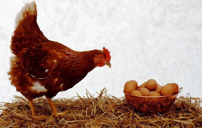 لانه تخم گذاری مرغ محلی1