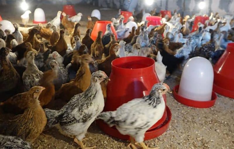 توجیه اقتصادی پرورش مرغ بومی