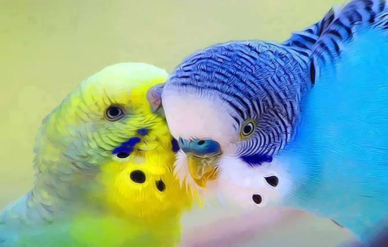 مرغ عشق بیمار1