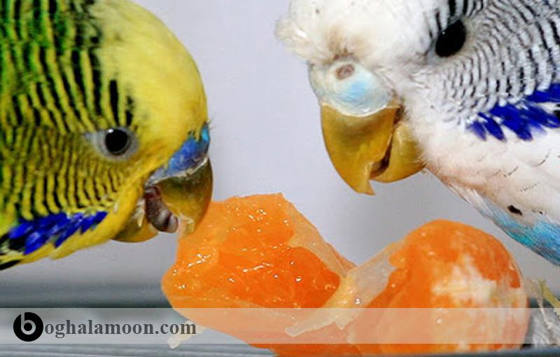 مکمل های غذایی و تقویت غذا در مرغ عشق