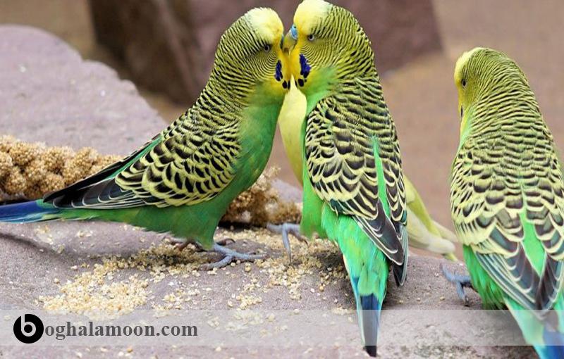 نحوه معرفی مرغ عشق جدید به مرغ عشق دست آموز ما