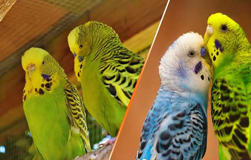 نحوه معرفی مرغ عشق جدید به مرغ عشق دست آموز ما11