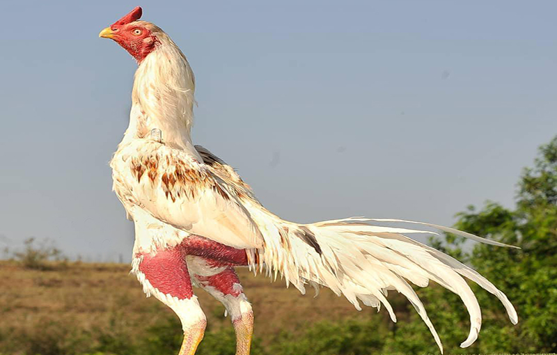 پرورش در ارتفاع در جوجه مرغ و خروس لاری
