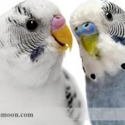 چگونگی تعیین جنسیت مرغ عشق