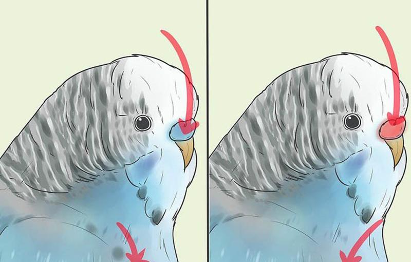 چگونگی تعیین جنسیت مرغ عشق333