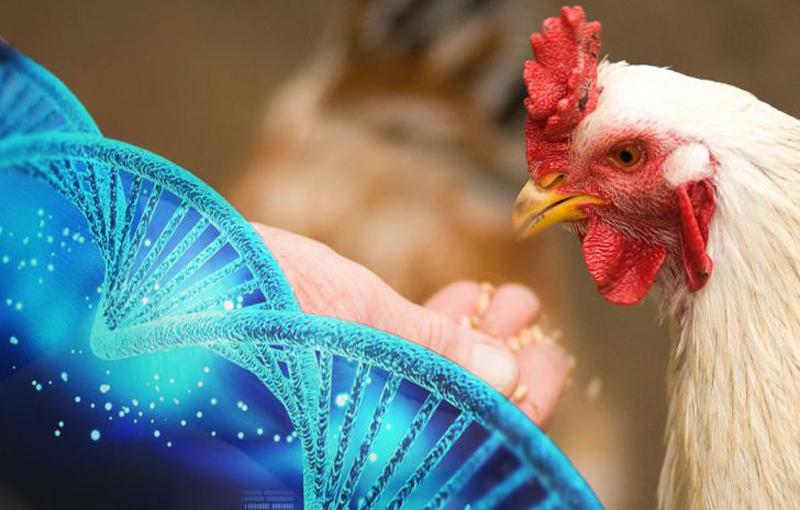 ژن و ارتباطهای ژنی در اصلاح مرغ و خروس لاری