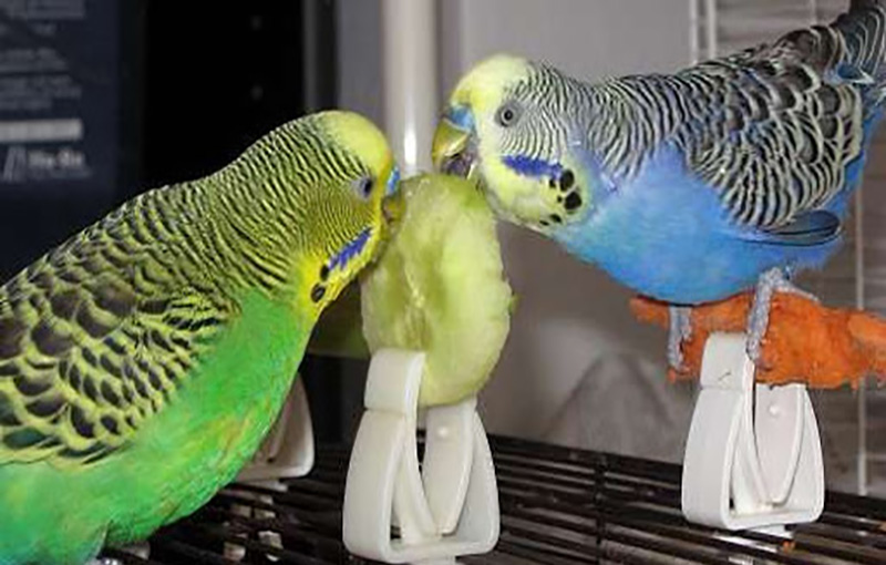 تغذیه مرغ عشق