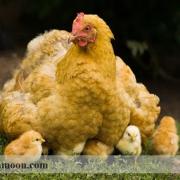 تغذیه مرغ مادر در پرورش خروس لاری