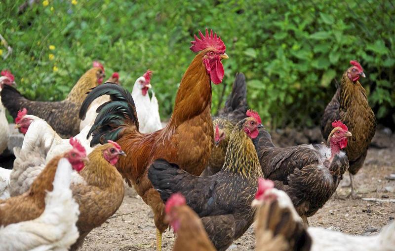 عکس العمل های رفتاری در مرغ و خروس لاری