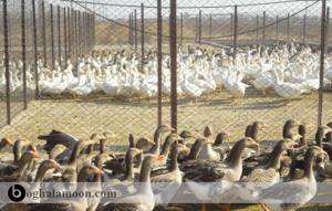 امکانات لازم برای پرورش اردک