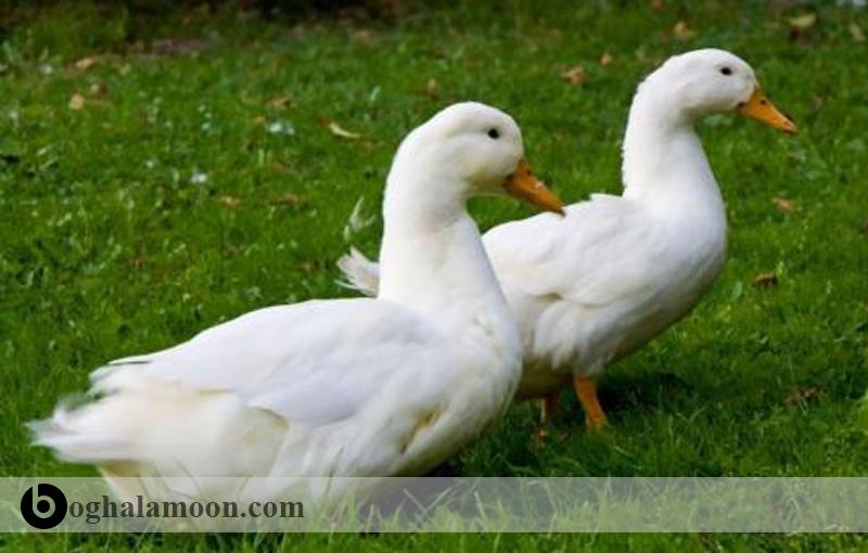 بیماری آنتریت ویروسی اردک