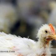 بیماری برونشیت عفونی مرغ تخمگذار1