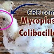 بیماری مایکوپلاسما مرغ تخمگذار.jpg