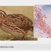 بیماری هموفیلوس 2