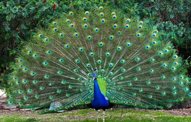 تغذیه و غذا دادن به طاووس ها