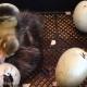 جوجه کشی اردک - نگهداری تخم اردک
