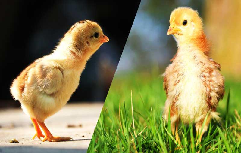 عوامل تاثیر گذار بر باروری و جوجه در آوری تخم مرغ