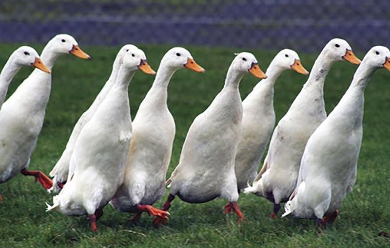 راهنمای پرورش اردک