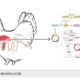 سیستم ایمنی مرغ تخمگذار