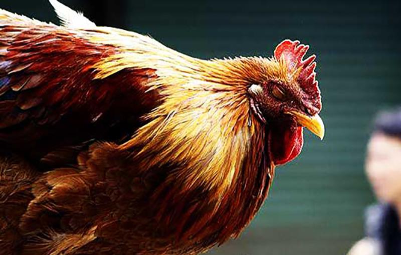 سیستم ایمنی مرغ تخمگذار11