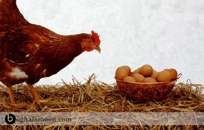 آب و کیفیت شیمیایی لازم برای پرورش مرغ تخمگذار