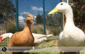 هر آنچه که درمورد مسمومیت اردک باید بدانید