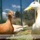 مسمومیت اردک