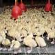 مشکلات جوجه کشی اردک
