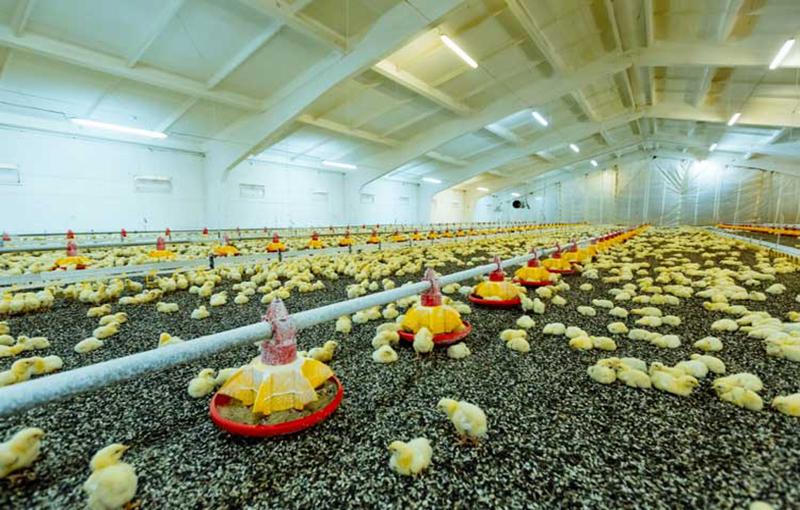 نحوه عایق بندی سالن پرورش جوجه مرغ