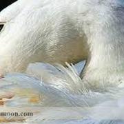 نیوکاسل اردک