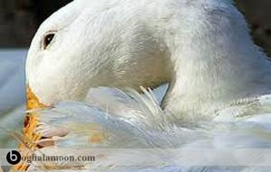 بیماریهای ویروسی اردک(نیوکاسل،طاعون و عفونت ویروسی)