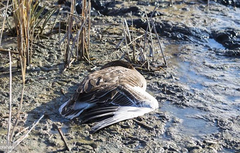 نیوکاسل اردک1