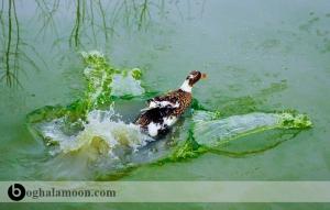 راهنمای پرورش اردک در آب