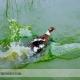 پرورش اردک در آب