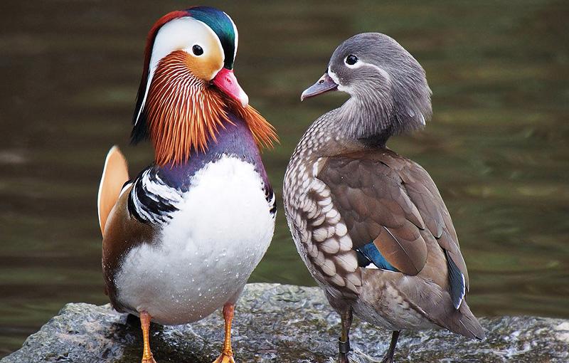 پرورش اردک زینتی1