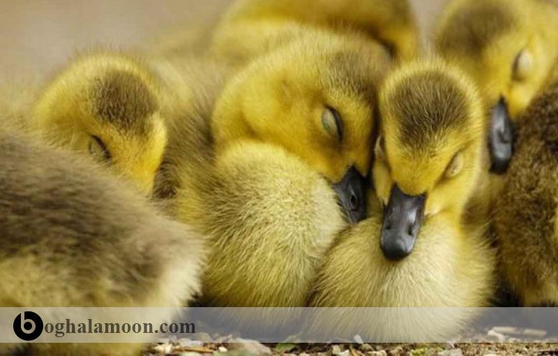 پرورش جوجه اردک