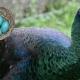 پرورش طاووس