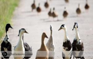 بیماری کانیبالیسم اردک یا خودخوری اردک