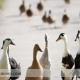 کانیبالیسم اردک