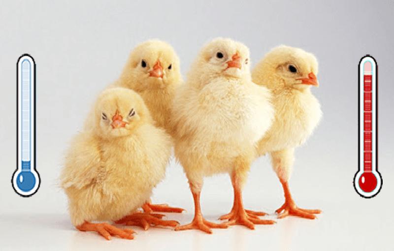 کنترل مرغ کرچ در مزرعه22