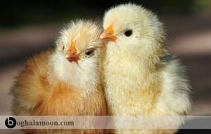 راهنمای کنترل مرغ کرچ در مزرعه