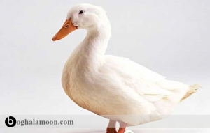 بیماری کوکسیدیوز اردک و بیماری های قارچی آن